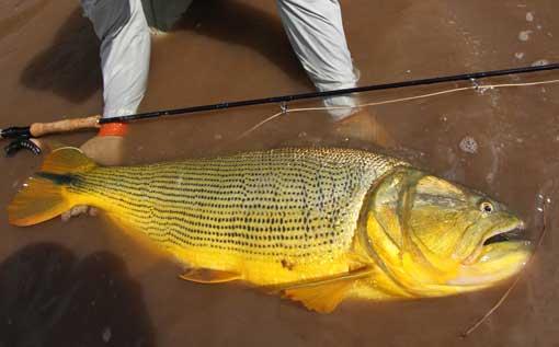 アマゾン川のドラド 最後のフロンティアで 黄金に輝くドラドを求める
